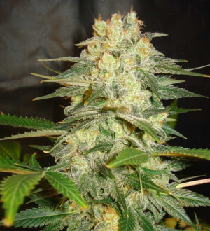 Afghan Kush Ryder - World of Seeds - autofloraison
