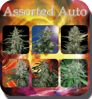 Assorted Auto Mix - Buddha Seeds
