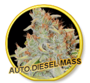 Auto Diesel Mass - Mr Hide Seeds