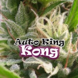 Auto King Kong by Dr. Underground Seeds