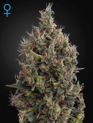 Big Bang Auto - Greenhouse Seeds