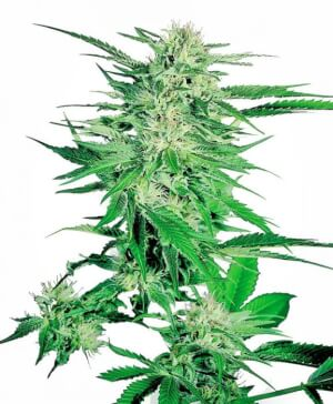 Big Bud - Sensi Seeds