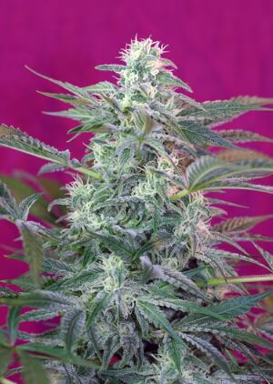 Big Foot by Sweet Seeds