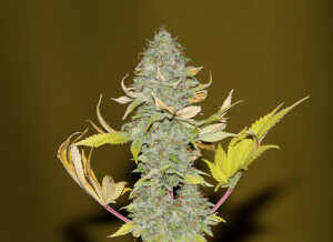 Bruce Banger by Seedsman