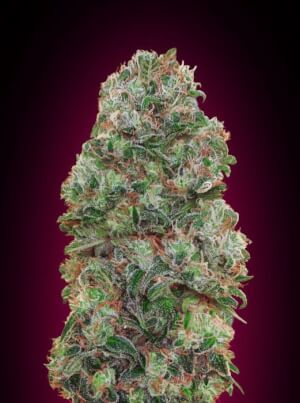 Bubble gum 00 Seeds Bank