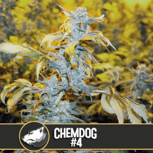 Chemdawg #4 by Blimburn Seeds