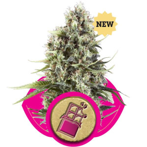 Chocolate Haze - Royal Queen Seeds