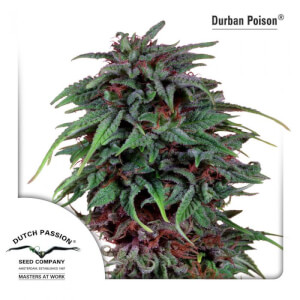 Durban Poison - Regular