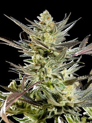 Fruity Jack / Jack el Frutero - Philosopher Seeds