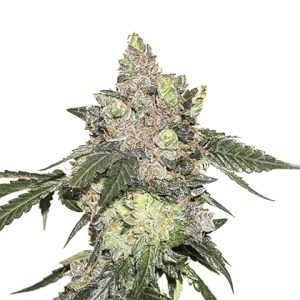 Girl Scout Cookies - Seed Stockers