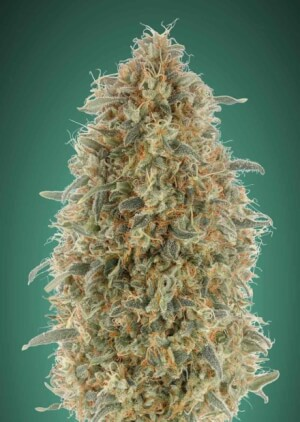 Gorilla Blue - Advanced Seeds