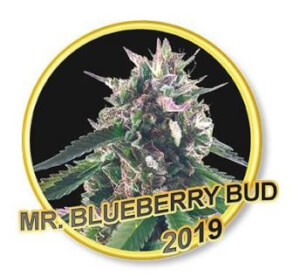 Mr Blueberry Bud