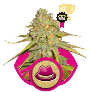 O.G. Kush – Royal Queen Seeds