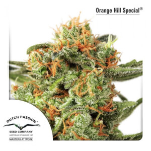 Orange Hill Special - Regular