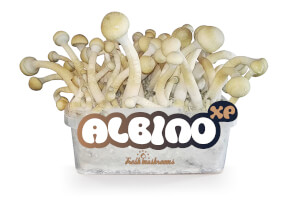 Pain de culture de champignons Albino XP - Freshmushrooms