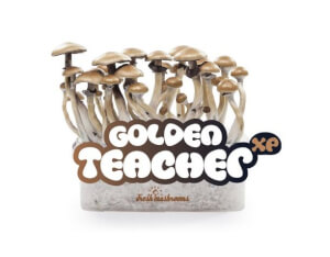 Pan de cultivo de setas Golden Teacher XP - Freshmushrooms