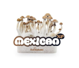 Pan de cultivo de setas Mexican XP - Freshmushrooms