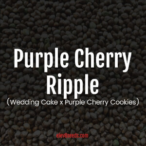 Purple Cherry Ripple