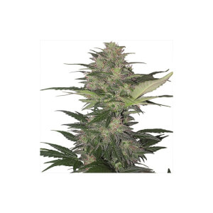 Red Dwarf automatic - Buddha Seeds