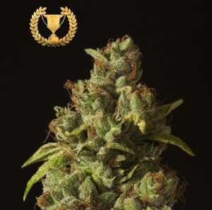 Rollex OG Kush Regular by The Devil's Harvest Seeds