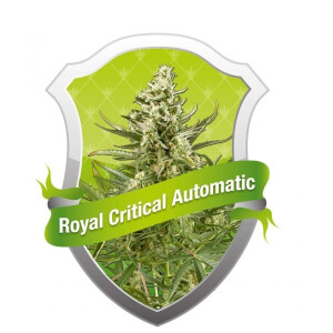 Royal Critical Auto