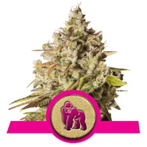 Royal Gorilla from Royal Queen Seeds