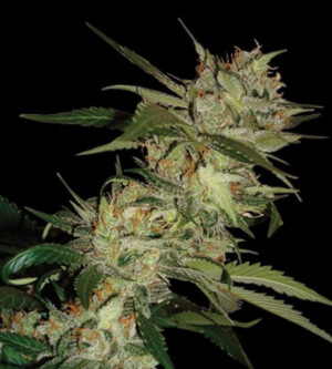 Online Sale Of Cannalope Haze Seeds From Dna Genetics The cantaloupe, rockmelon (australia and new zealand), sweet melon, or spanspek (south africa) is a melon that is a variety of the muskmelon species (cucumis melo) from the family cucurbitaceae. cannalope haze seeds from dna genetics