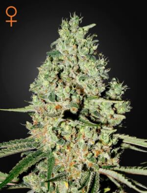 Super Critical - Greenhouse Seeds