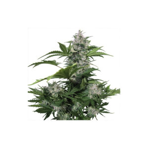 White Dwarf Automatic - Buddha Seeds