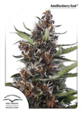 Auto Blackberry Kush 3 semillas