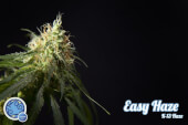 Easy Haze / K13 Haze - Philosopher Seeds