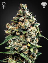 Jack Herer de Greenhouse Seeds