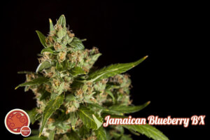 Jamaican Blueberry Bx