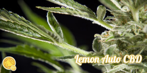 Lemon Auto CBD