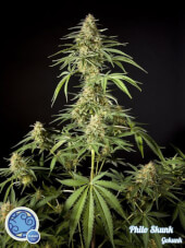 Philo Skunk / Gokunk - Philosopher Seeds