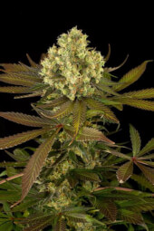 Sour Blueberry - Feminized Seeds