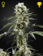 Super Lemon Haze - Greenhouse Seeds