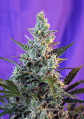 Sweet Skunk Auto  25 semillas