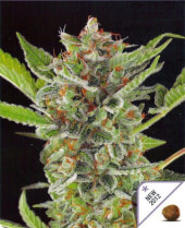 White Widow Automatic Dinafem 1 semilla