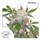 White Widow Dutch Passion
