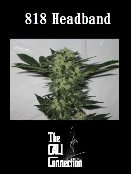 818 Headband Regular