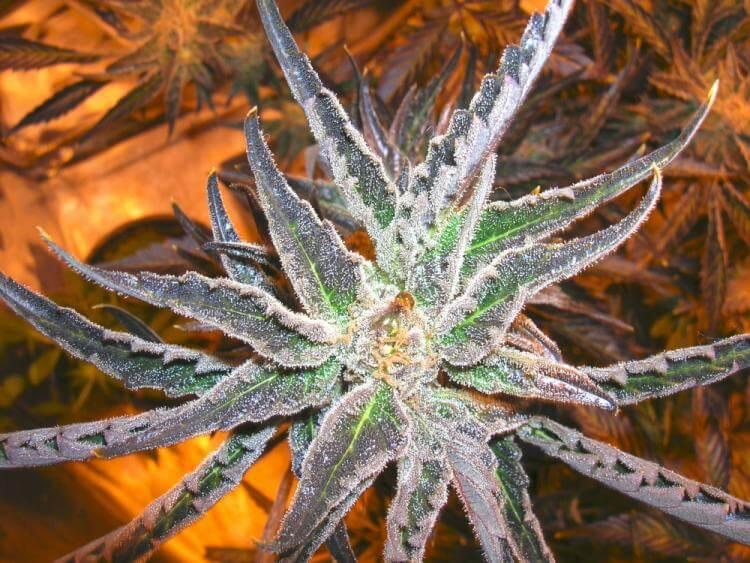 Vende de graines high tension de world of seeds for Afghan kush exterieur