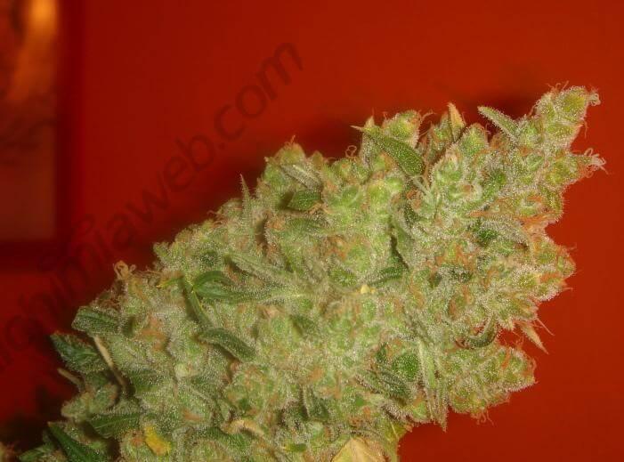 Bancos de semillas de marihuana Medical Seeds