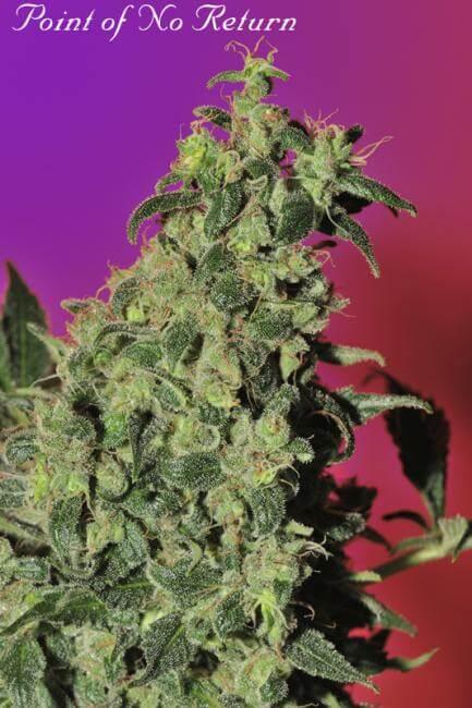 Purple Punch by Purple Caper Seeds