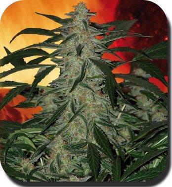Venta de deimos semillas de marihuana for Autofloraison interieur
