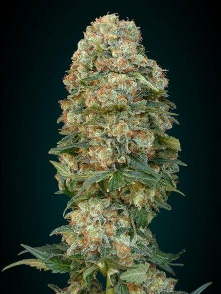 Graines de cannabis f minis es afghan skunk de advanced seeds for Afghan kush exterieur