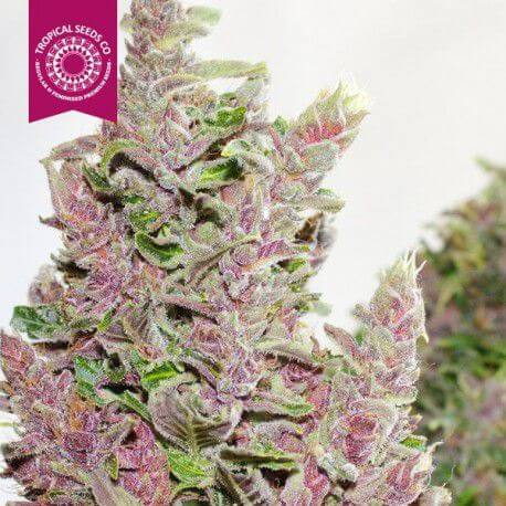 Online Sale of cannabis seeds from the Tropical Seeds Company