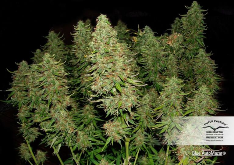 Sale of Blue Automazar From Dutch Passion Cannabis Indica Plant