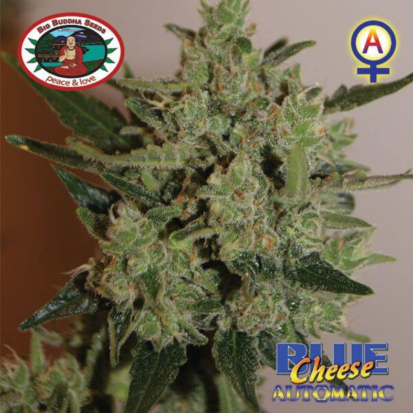 Banks For Sale >> Sale of Blue Cheese Automatic from Big Buddha Seeds