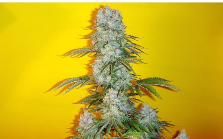 Blue Fin by Mosca Seeds